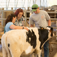 students examining a dairy cow in the barn