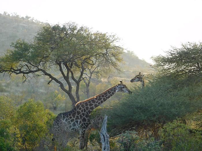 Two giraffes munching on leaves as the sun rises in Kruger National Park in South Africa