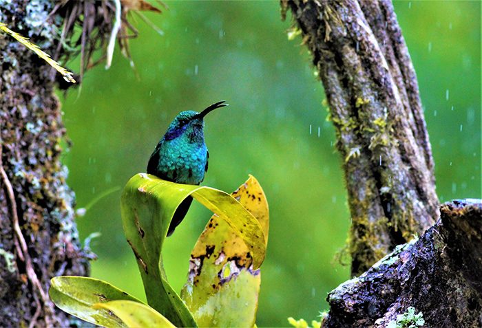 a bird with shimmery blue feathers and a long black beak sits on some wet leaves in the forest of Mount Totumas, Panama
